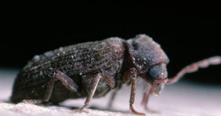 coleoptero-argi-humichem